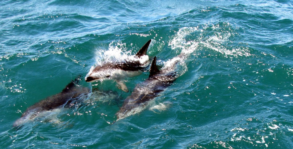 Schwarzdelfine